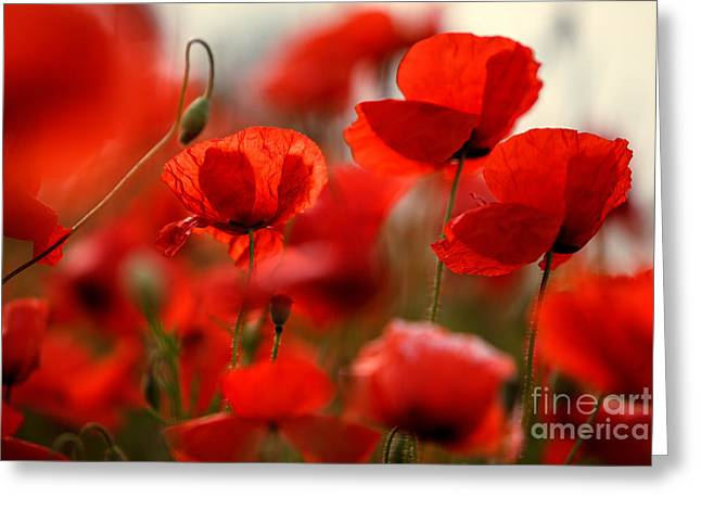 Petal Greeting Cards - Poppy Dream Greeting Card by Nailia Schwarz