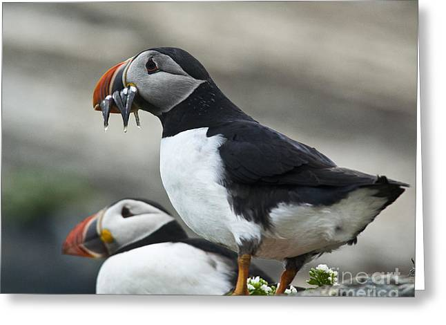 Aquatic Bird Greeting Cards - Puffins Greeting Card by Heiko Koehrer-Wagner