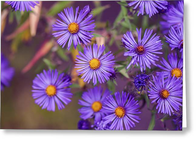 Asters Greeting Cards - Purple Aster Flower - VanDusen Botanical Garden Greeting Card by May L