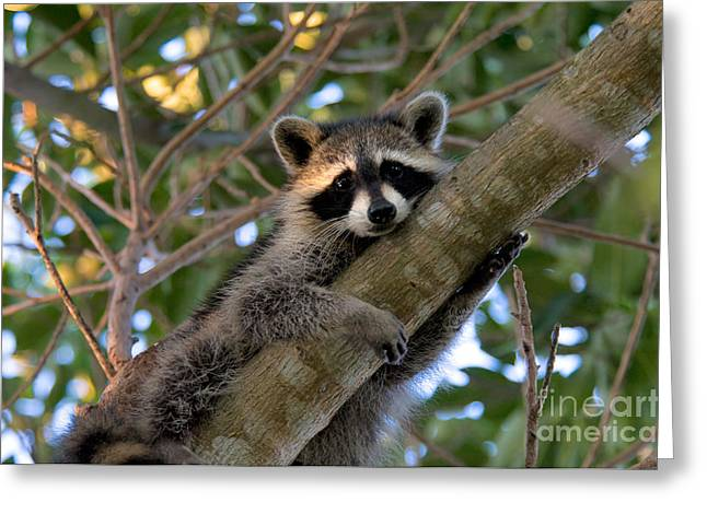 Green Cay Greeting Cards - Raccoon Greeting Card by Mark Newman
