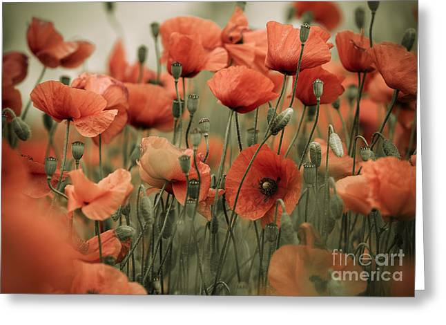 Petal Greeting Cards - Red Poppy Flowers Greeting Card by Nailia Schwarz