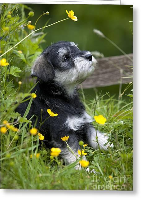 Mini Schnauzer Puppy Greeting Cards - Schnauzer Puppy Dog Greeting Card by John Daniels