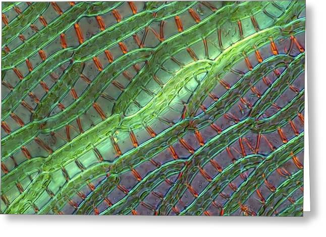 Biological Greeting Cards - Sphagnum moss cells, light micrograph Greeting Card by Science Photo Library