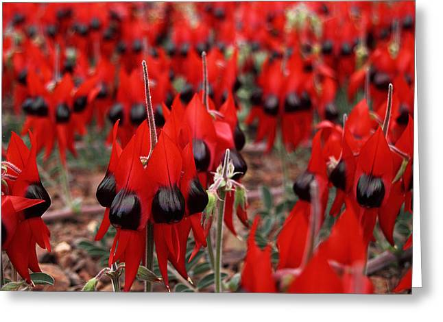 Sturt's Desert Pea Outback South Australia Greeting Card by Carole-Anne Fooks