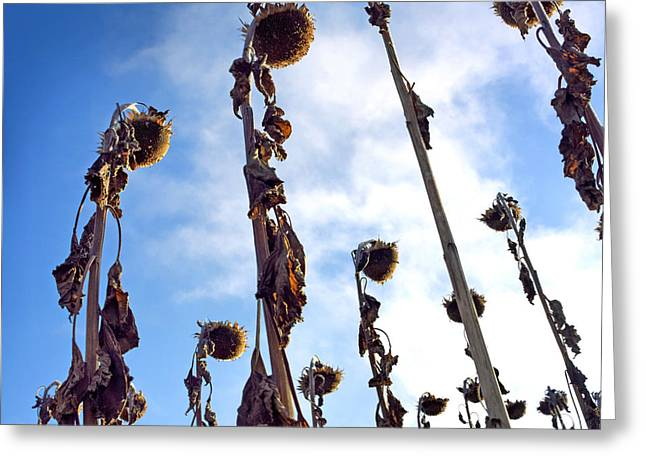 Cropland Greeting Cards - Sunflowers Greeting Card by Bernard Jaubert
