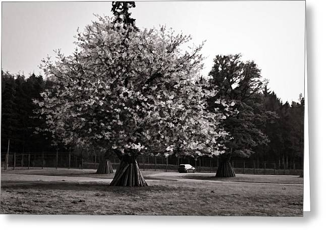 Amusements Greeting Cards - Tree with large white flowers Greeting Card by Ashish Agarwal