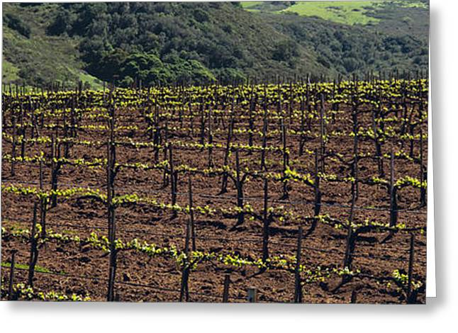 Grape Vineyard Greeting Cards - Agriculture - Wine Grape Vineyard Greeting Card by Timothy Hearsum