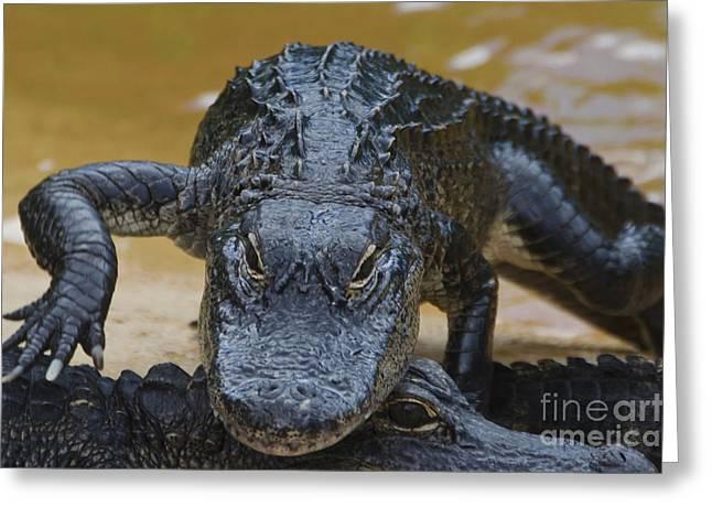 Alligator Farm Greeting Cards - American Alligator Greeting Card by Mark Newman