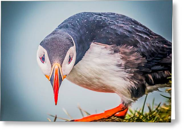 Atlantic Puffin Greeting Cards - Atlantic Puffin Fratercula Arctica Greeting Card by Panoramic Images
