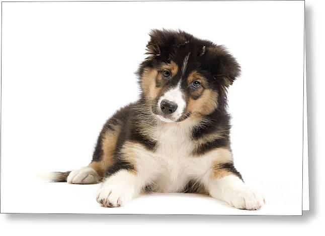Australian Shepherd Puppy Greeting Card by Jean-Michel Labat
