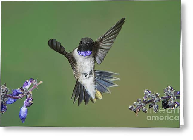 Chin Up Photographs Greeting Cards - Black-chinned Hummingbird Greeting Card by Anthony Mercieca