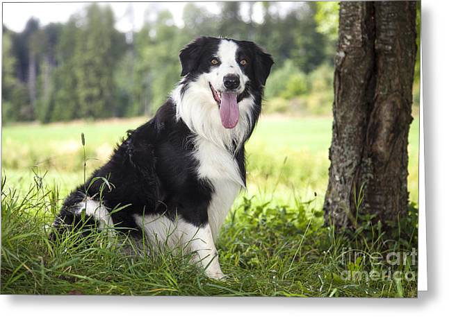 Loyality Greeting Cards - Border Collie in the nature Greeting Card by Regina Koch