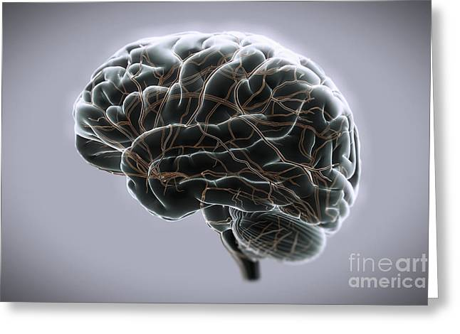 Digital Artery Greeting Cards - Brain With Blood Supply Greeting Card by Science Picture Co