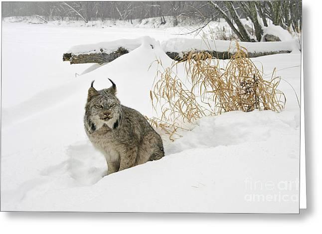 Canadian Lynx Greeting Cards - Canadian Lynx Greeting Card by John Shaw