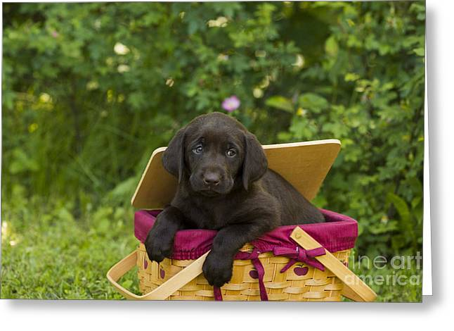 Domesticated Flower Greeting Cards - Chocolate Labrador Retriever Greeting Card by Linda Freshwaters Arndt