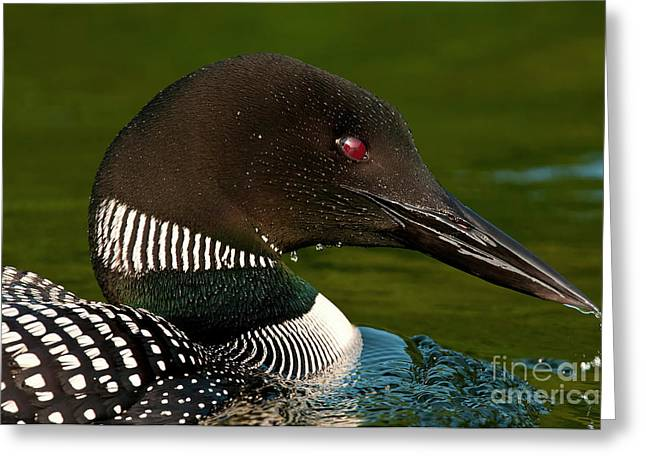 Michael Cummings Greeting Cards - Common Loon Greeting Card by Michael Cummings