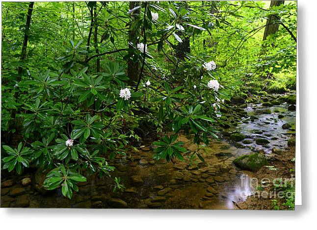 Rhododendron Maximum Greeting Cards - Cranberry Wilderness Greeting Card by Thomas R Fletcher