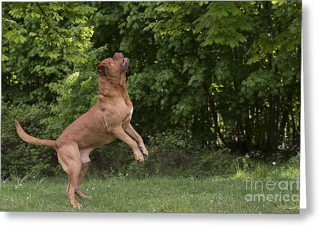 Working Dog Greeting Cards - Dogue De Bordeaux Greeting Card by Jean-Michel Labat