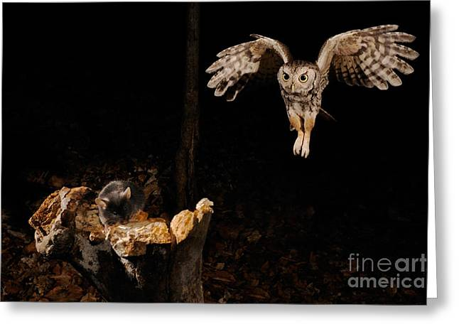 Birds In Flight At Night Greeting Cards - Eastern Screech Owl Greeting Card by Scott Linstead