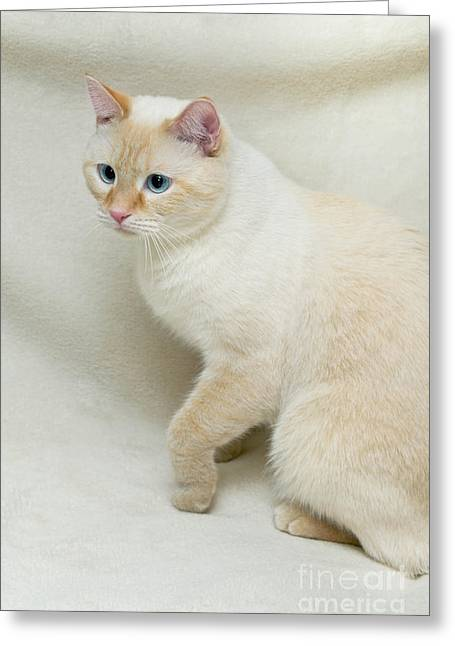 Eye Greeting Cards - Flame Point Siamese Cat Greeting Card by Amy Cicconi