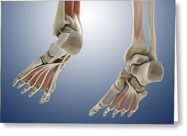 Lumbrical Greeting Cards - Foot muscles, artwork Greeting Card by Science Photo Library