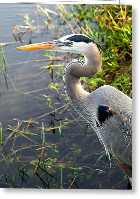 Ardea Herodias Greeting Cards - Great Blue Heron Greeting Card by Rich Leighton