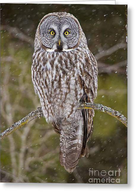Michael Cummings Greeting Cards - Great Gray Owl Greeting Card by Michael Cummings