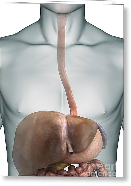 Abdominal Greeting Cards - Human Liver Greeting Card by Science Picture Co