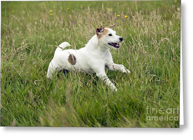 Purebreed Greeting Cards - Jack Russell Terrier Greeting Card by John Daniels
