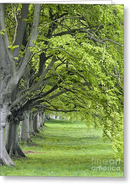 Kingston Greeting Cards - Mature Beech Trees Fagus Sylvatica Greeting Card by Adrian Bicker