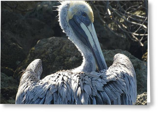 Landscape Posters Greeting Cards - Pelican Greeting Card by Frederic Bonneau Photography