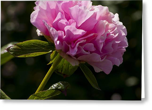 Flower Greeting Cards - Pink Peony Greeting Card by Mandy Judson