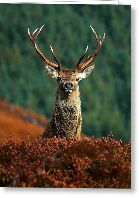 Highlands Of Scotland Greeting Cards - Red deer stag Greeting Card by Gavin Macrae
