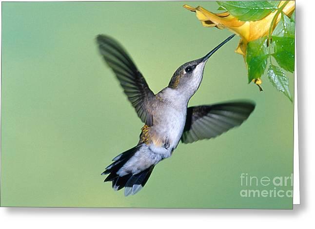 Feeding Birds Greeting Cards - Ruby Throated Hummingbird Greeting Card by Millard H. Sharp