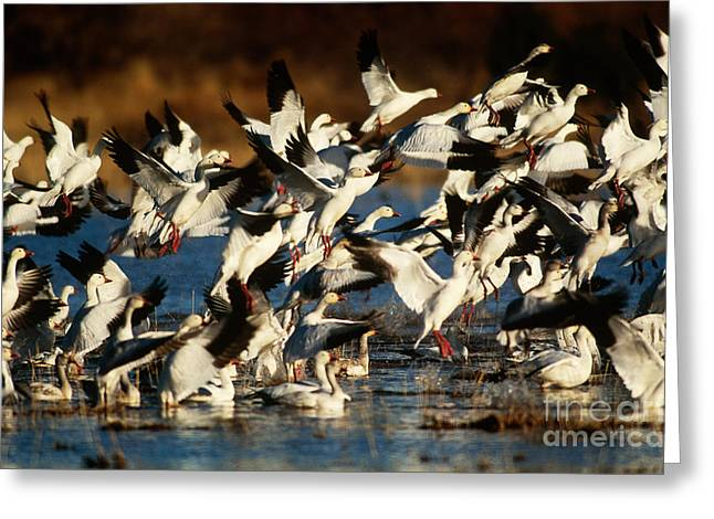 Snow Geese In Flight Greeting Cards - Snow Geese Greeting Card by Art Wolfe