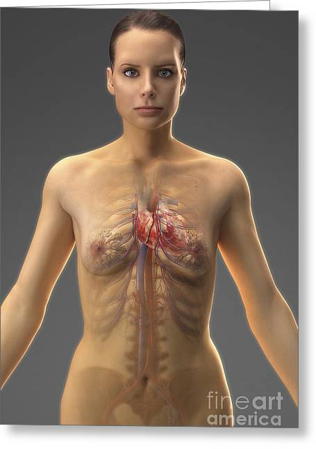 Inferior Vena Cava Greeting Cards - The Cardiovascular System Female Greeting Card by Science Picture Co