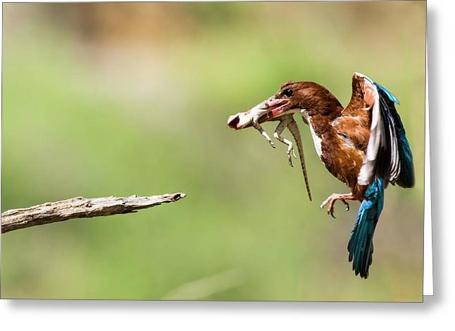White-throated Kingfisher Greeting Card by Photostock-israel