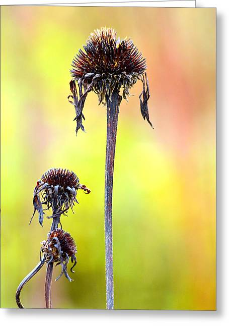 Conditions Greeting Cards - Wilted flower  Greeting Card by Toppart Sweden