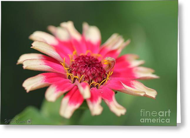 Whirlygig Greeting Cards - Zinnia from the Whirlygig Mix Greeting Card by J McCombie