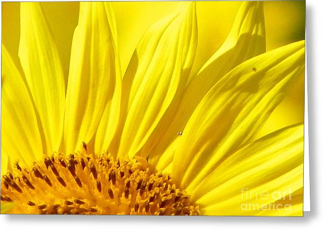 Farm Stand Greeting Cards - #923 D718 You Are My Sunshine. Sunflower on Colby Farm Greeting Card by Robin Lee Mccarthy Photography