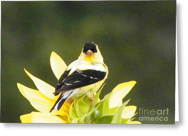 Farm Stand Greeting Cards - 923 D723 American Gold Finch on Sunflower at Colby Farm  Greeting Card by Robin Lee Mccarthy Photography