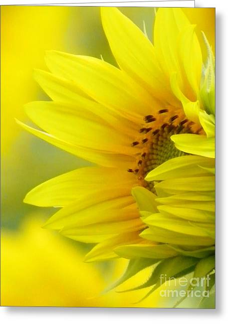 Farm Stand Greeting Cards - #923 D727 Awakening Sunflower on Colby Farm Newbury Massachusetts     New Beginnings Greeting Card by Robin Lee Mccarthy Photography