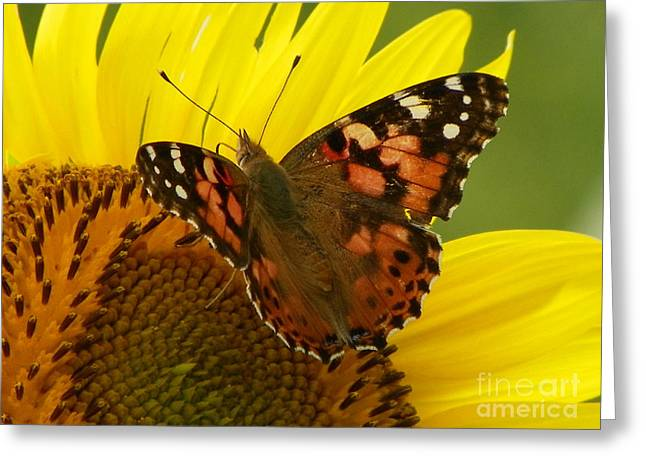 Nature Center Greeting Cards - 923 D729 The Visitor Fritillary Butterfly Colby Farm Newbury Massachusetts Greeting Card by Robin Lee Mccarthy Photography