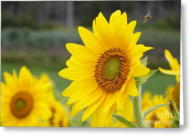 The Nature Center Greeting Cards - 923 D732 Heard The Buzz Colby Farm Newbury Massachusetts Greeting Card by Robin Lee Mccarthy Photography