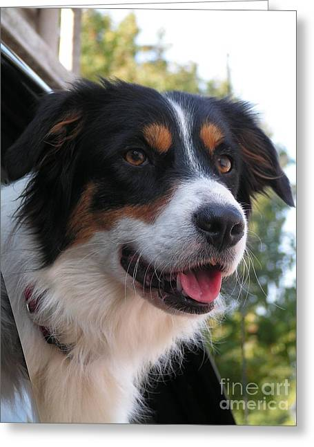 Owner Greeting Cards - #929 D917 Out For A Drive Australian Shepherd Greeting Card by Robin Lee Mccarthy Photography
