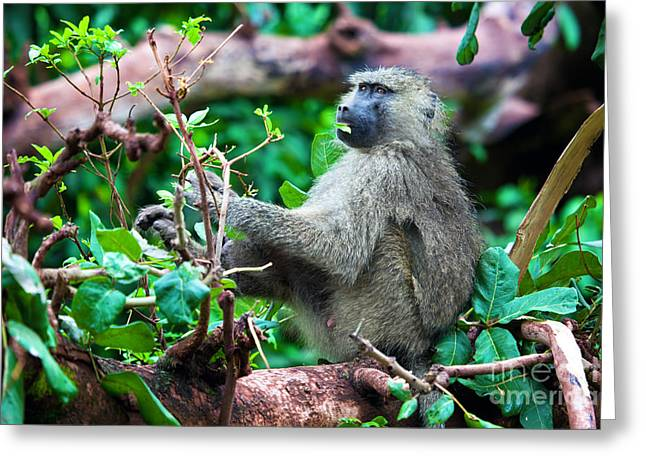 A Baboon In African Bush Greeting Card by Michal Bednarek