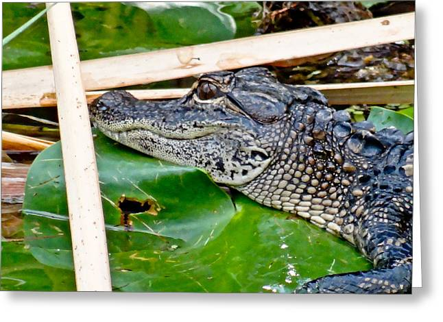 Florida Gators Mixed Media Greeting Cards - A Baby Gator Greeting Card by Dennis Dugan