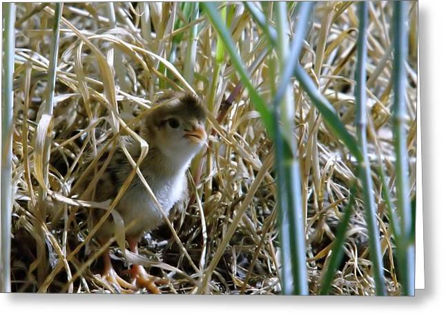 Baby Bird Greeting Cards - A Baby Quail Looks Back Greeting Card by Jeff  Swan