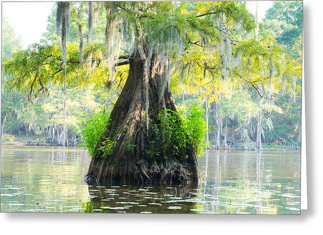Caddo Lake Greeting Cards - A bald cypress in summer colors Greeting Card by Ellie Teramoto
