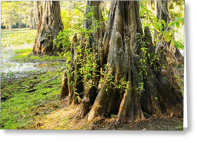 Spanish Moss Greeting Cards - A Bald Cypress Trunk With Its Little Knees - Texas Greeting Card by Ellie Teramoto